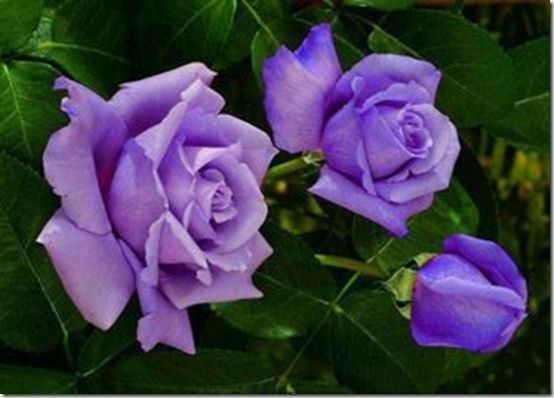 Lavendar roses on Pinterest