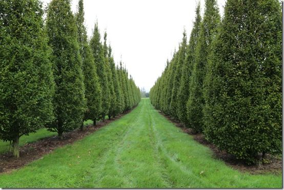 4. Conical carpinus