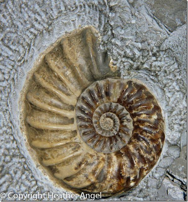 Jurassic ammonite fossil, Asteroceras, Charmouth, Dorset