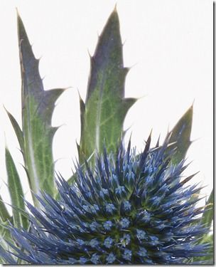 sea holly at f32 part