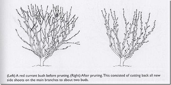 pruning-red-currant-bushes_thumb
