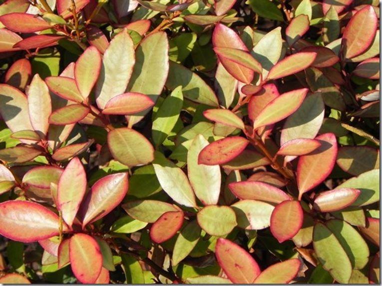 10 Pseudowintera colorata Shrubs For Winter Interest