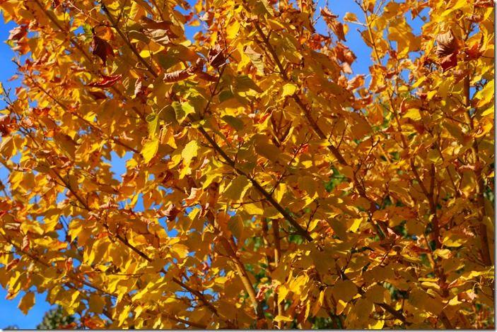 4 Acer pennsylvaticum 'Erythrocladum'