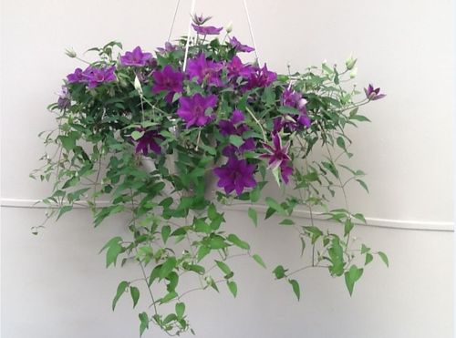 Clematis for Hanging Baskets