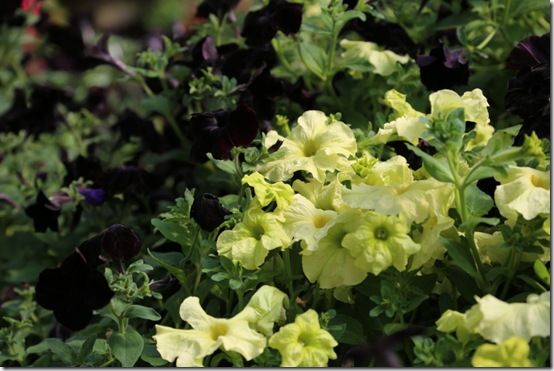 Black and lime petunias