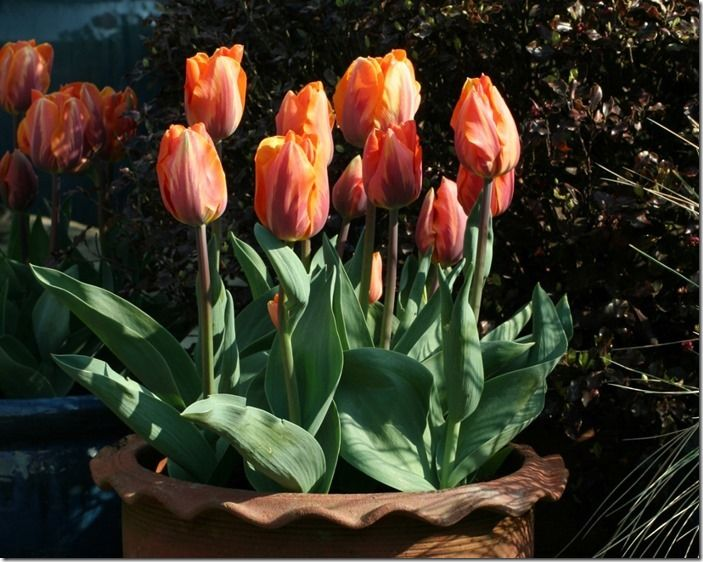 2 Tulip Princes (1024x818)