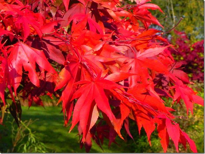 6 Acer palmatum 'Oxakazuki' Autumn