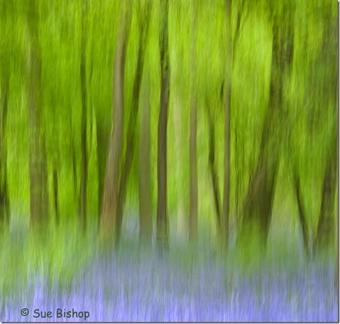 bluebell wood panned
