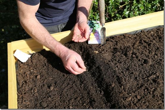 Sowing beetroot