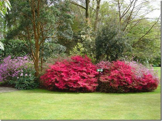 Azalea Hino Crimson main lawn