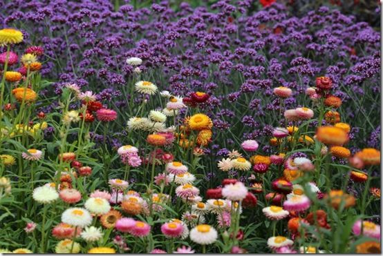 helichrysum and Verbena