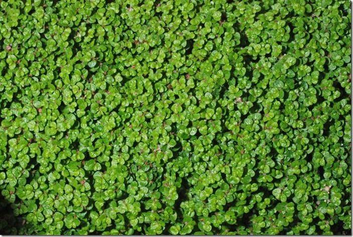 8 Soleirolia soleirolii