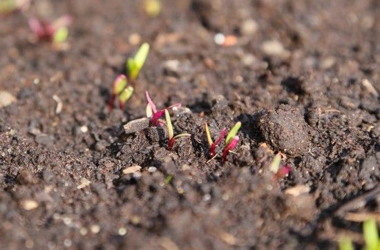 9 Beetroot seedlings