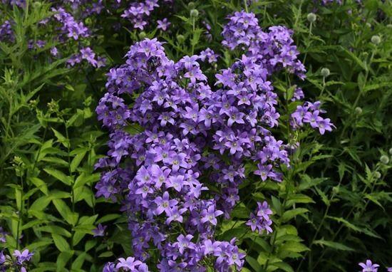 4 Campanula lactiflora 'Pritchard's Variety' (1024x712)