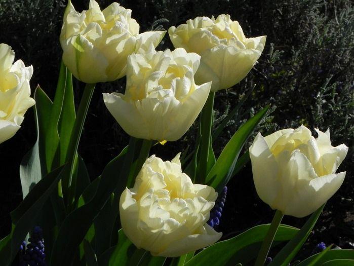 7 Tulipa General Mininsky' (1024x768)