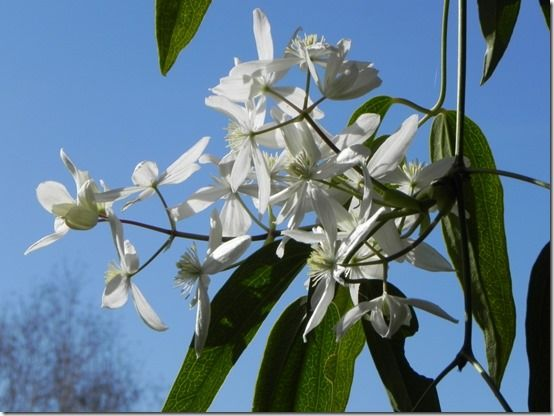 Clematis Armandii Is A Strong Growing Evergreen Climber With Stems That Can Reach 5 Metres 15ft Or More The Leaves Consist Of Three Long Finger Like