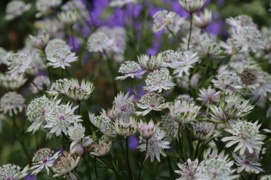 3 Astrantias (800x533)