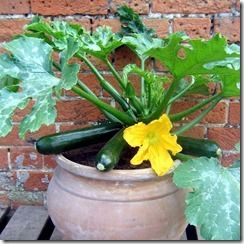 150170_FYS_Courgette_Patio_Star_F1_exp