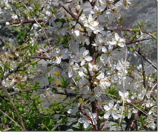 prunus_spinosa[1]