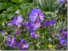 Geranium 'Rozanne'  (2)