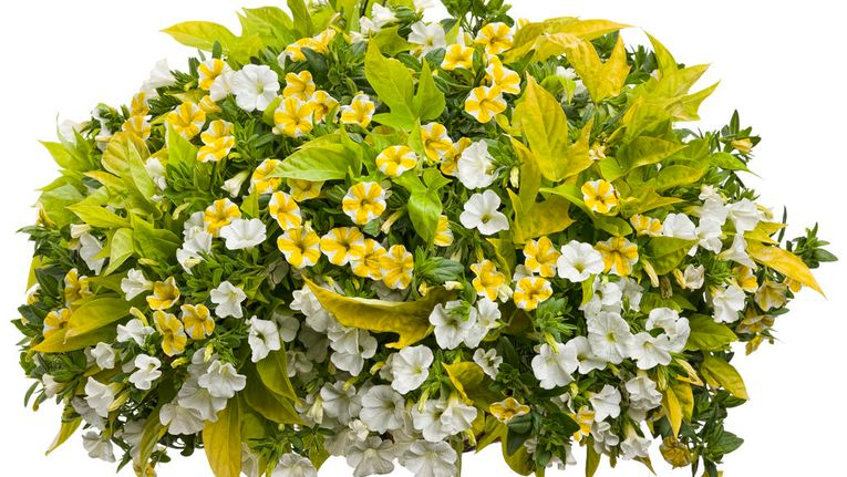 10 Best Plants For Hanging Basket Gardening Learning With Experts