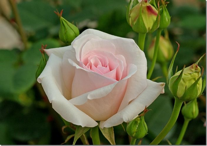 10 Best Roses For Cutting Gardening