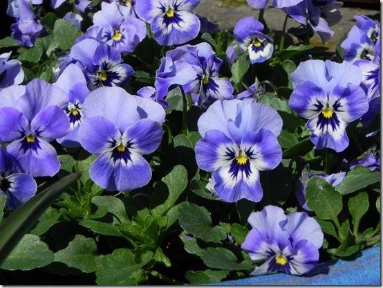 10 Delightful blue violas