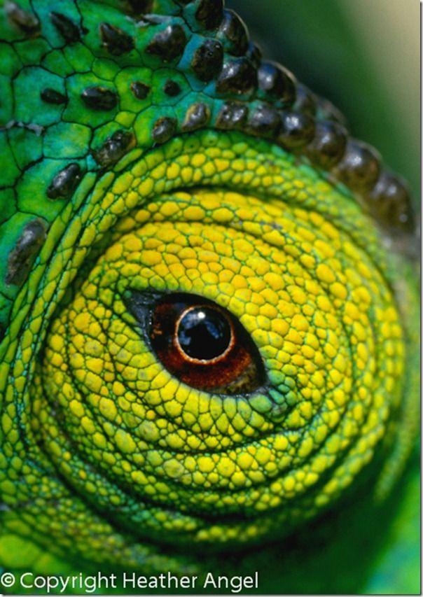 Chameleon eye Madagascar