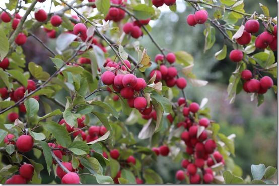 Malus fruits