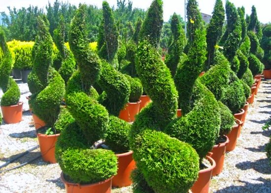 6 Conifer topiary