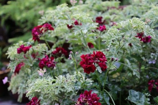2 Trailing geraniums and scented (800x533)