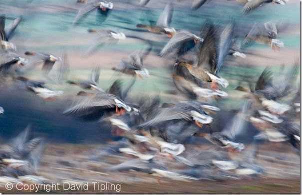 Pink-footed Geese Anser brachyrhynchus North Norfolk winter, Focus, Focusing errors, Focusing, Bird, Movement, Panning, Lomg exposure, prefocus, Photography, Low Light, single point AF, continuous, AI servo, AF for tracking, pre-focus, David Tipling, Online course,