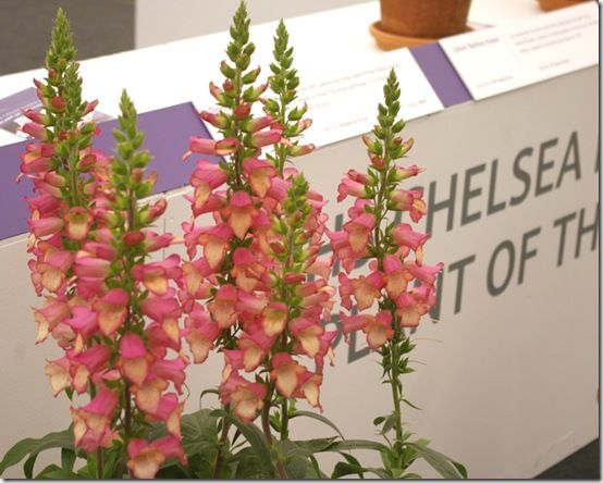 3 Digitalis Illumination Pink