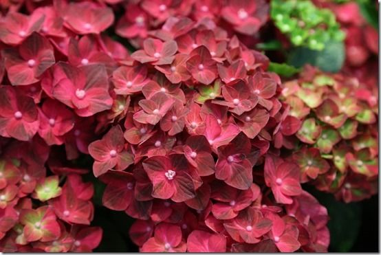 5_Hydrangea_'Ruby_Tuesday'[1]