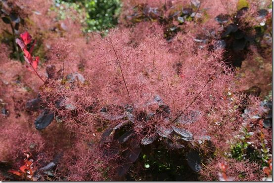 1 Cotinus 'Candyfloss'  (2)