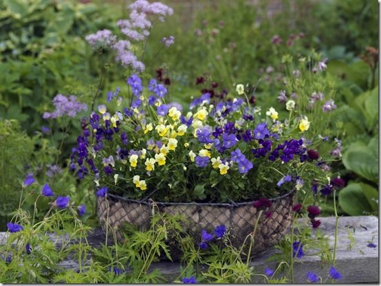 mix of violas planted in an old wire basket (1280x960)