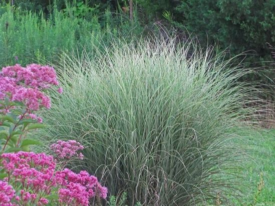 Miscanthus 'Morning Light'