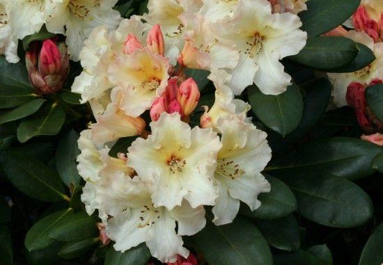 Rhododendron 'Horizon Monarch'