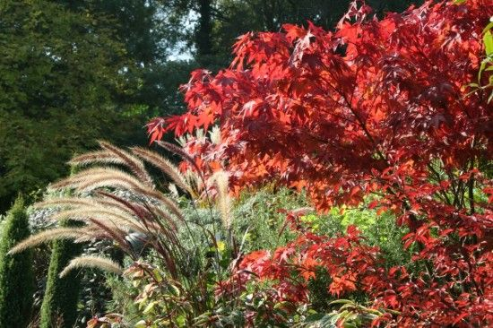 Acer and pennisetum
