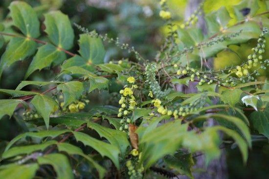 3 Mahonia japonica