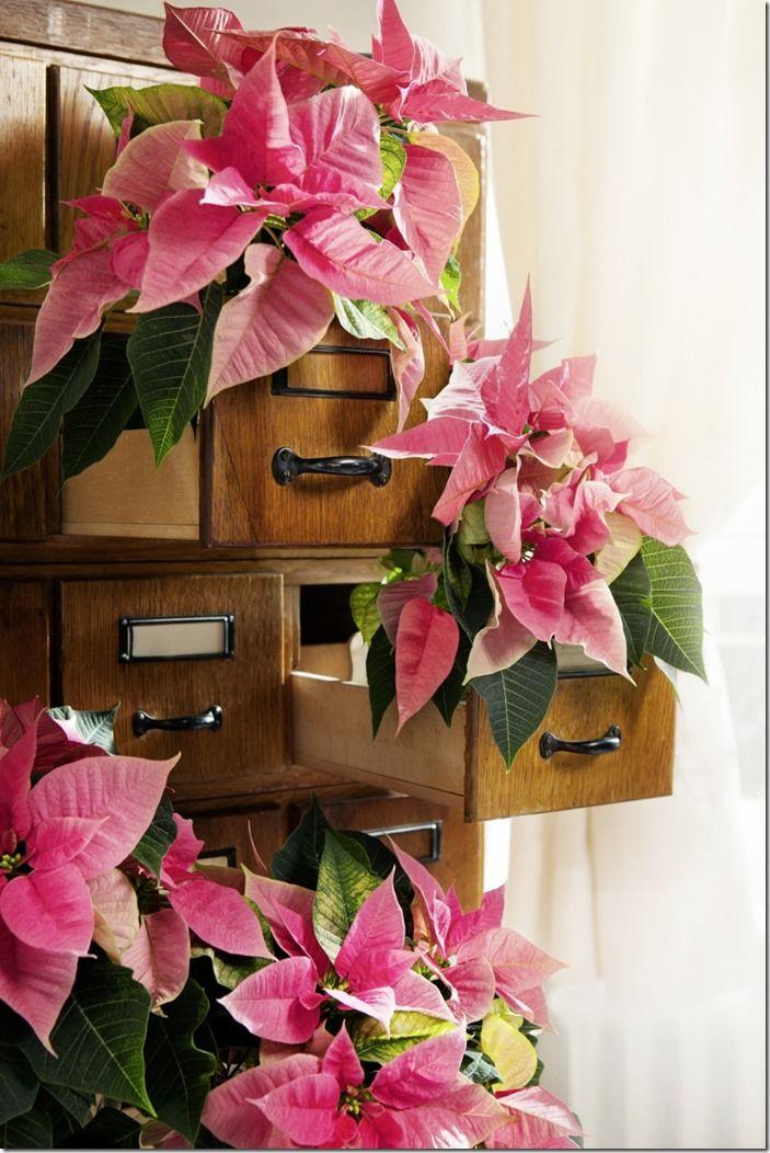 8 Pink poinsettias in drawers ov-dornrschen-2 (853x1280)