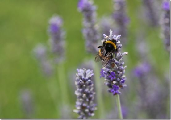 1Bumblebee on lavender