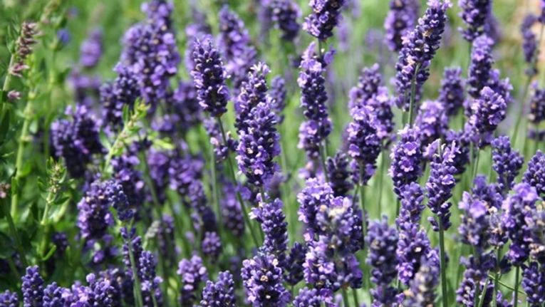 How To Grow Lavender Gardening Learning With Experts