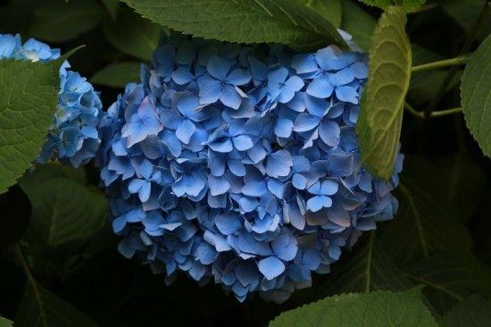 9 Blue Hydrangea (800x533)