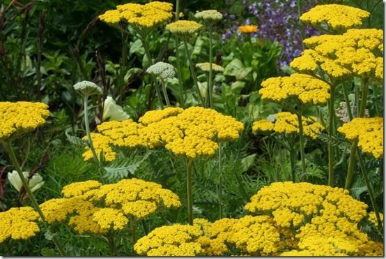 7 Acillea 'Gold plate', 10 Great Perennials To Grow For Cutting