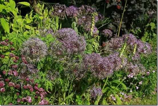 10 Allium cristophii
