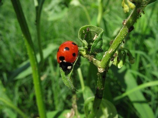 4 Ladybug with aphids (1280x960)