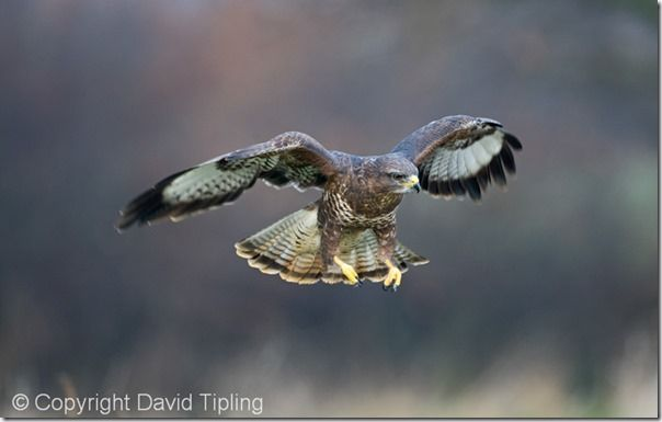 Common Buzzard Buteo buteo Glos UK winter