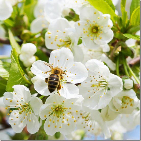 Biene in Apfelbaum Blüte