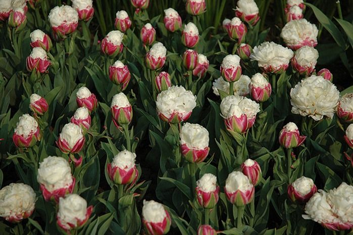 9 Tulipa 'Ice Cream
